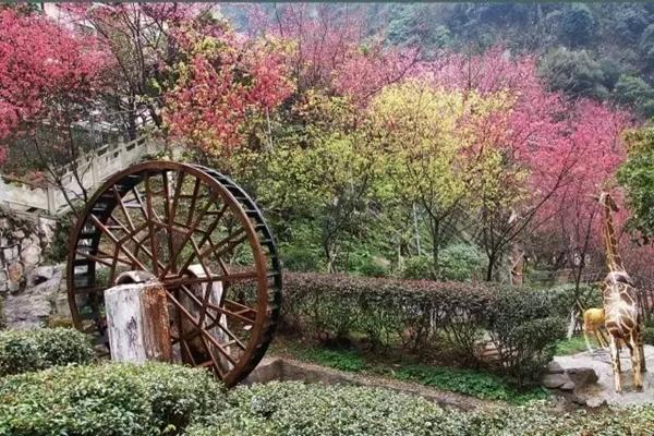 郴州王仙岭景区樱花节开幕 满园绽放迎春来